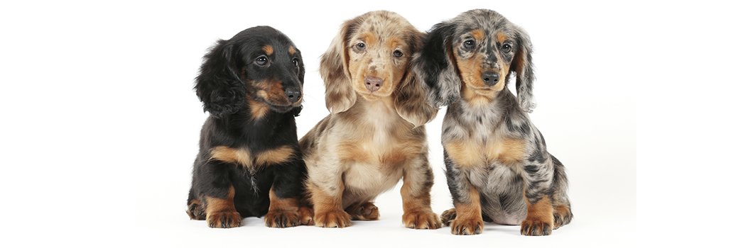 small-sized-puppies_articlev3.png