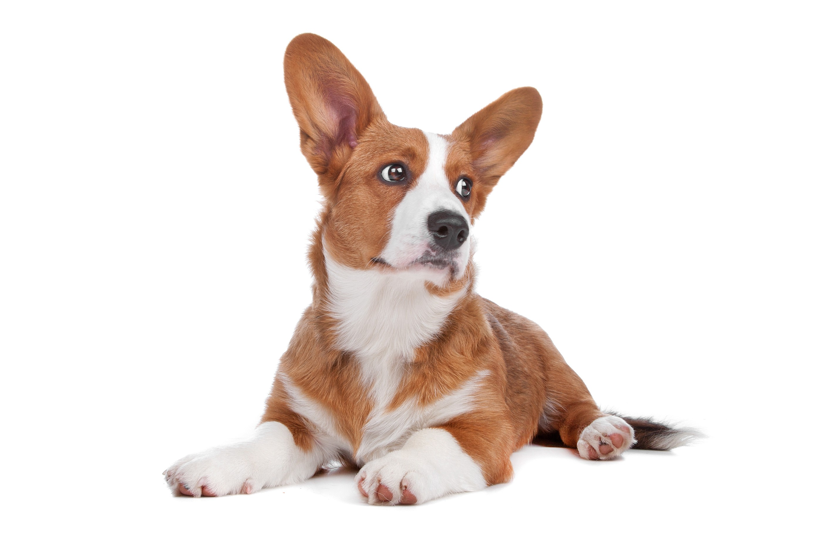 bigstock-welsh-corgi-dog-110298621.jpg